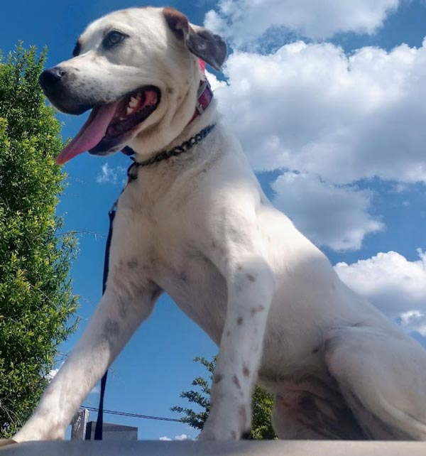Carolina's Dog Trainer | Lancaster, SC | trained white dog